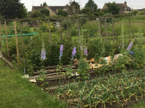 Allotment plot with plants growing